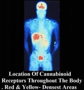 Cannabinoid-receptors-280x300