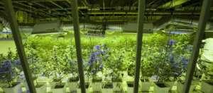 cannabis 5-4-2