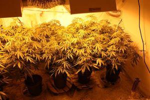cannabis-plants-grow