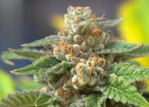 cannabisohyeah[1]