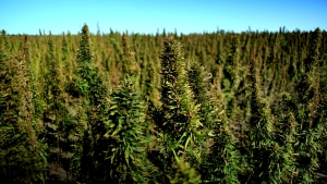 industrial_hemp_field