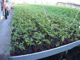 la-coltivazione-canapa